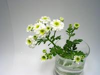 フィーバーフューの花