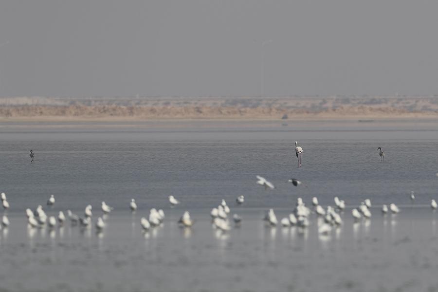 Breeding Greater Flamingo
