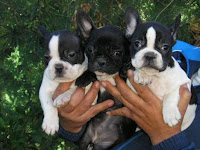 kennel-bulldog-frances-en-viña-del-mar-criadero-otterstein