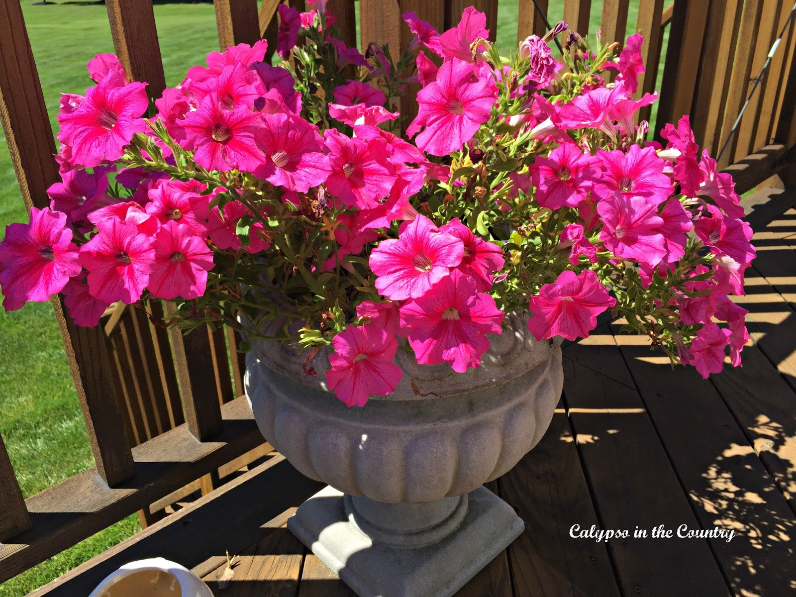 Pink Petunias - Container gardening success!
