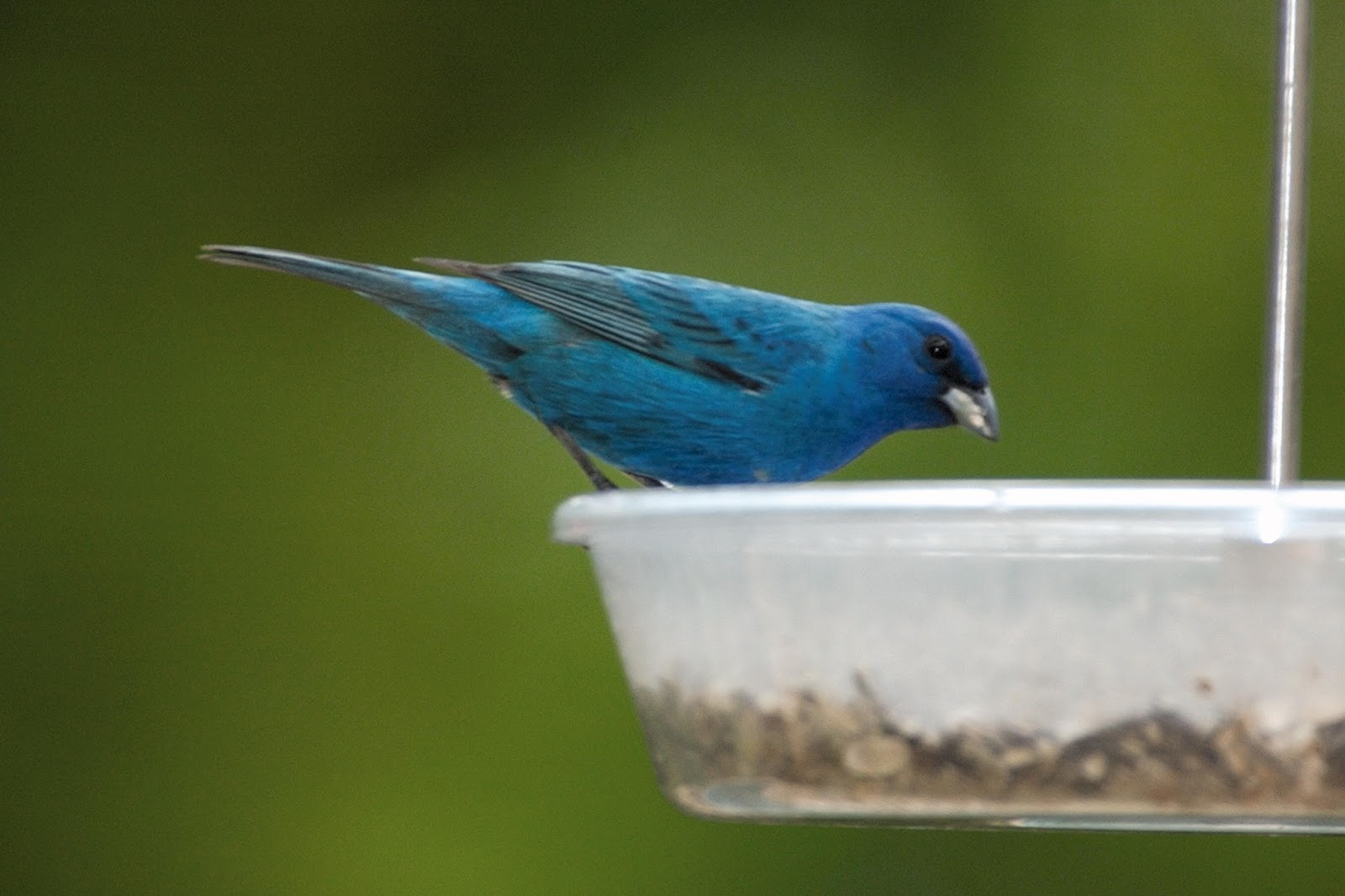 Indigo Bunting Attracting Indi...