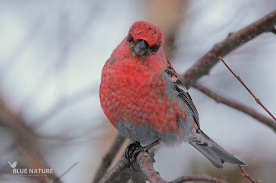 Macho de camachuelo picogrueso - Pine grosbreak male - Pinicola enucleator. Los machos presentan este plumaje de color rojo carmesí tan bonito y tan parecido al plumaje de los machos de piquituertos. Forma bandos numerosos en los bosques de coníferas de Finlandia.