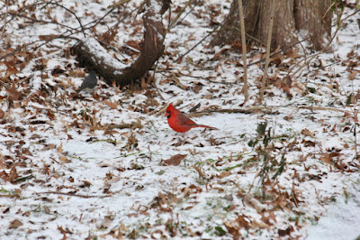 it's the time of year to look for cardinals at the feeder around sunset