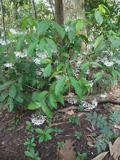 Pohon Asoka hutan sedang berbunga
