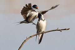 White-throated Swallow, Hirundo albigularis at Marievale Nature Reserve, Gauteng, South Africa per Derek Keats a Flickr