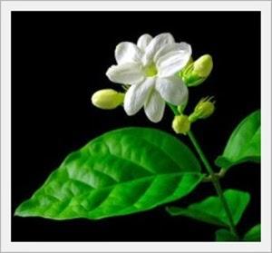 Bunga Melati Putih sebagai Puspa Bangsa