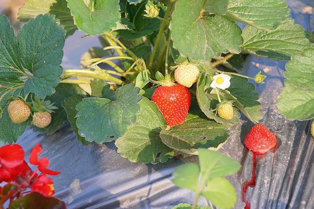 DSC00861 - 台中觀光果園│採草莓不用去大湖,台中草莓世界就在潭子慈濟醫院對面開採囉