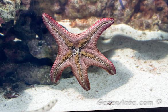 vantuzlarıyla cama sıkı sıkı yapışmış bir deniz yıldızı, Sea Life Akvaryum İstanbul