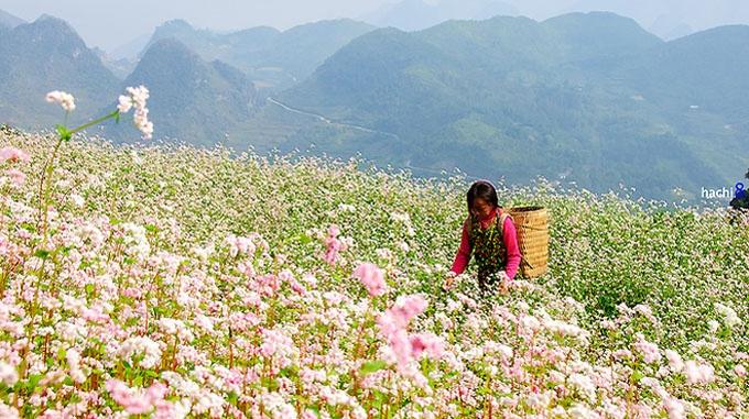 Hoa tam giác mạch - Tour du lịch Hà Nội - Hà Giang