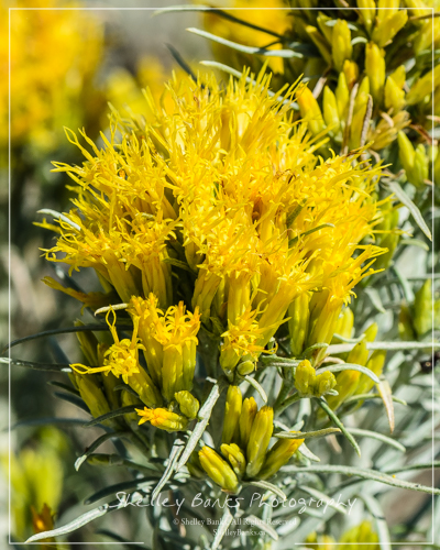 Rabbitbrush, Grasslands National Park. Copyright © Shelley Banks, all rights reserved.