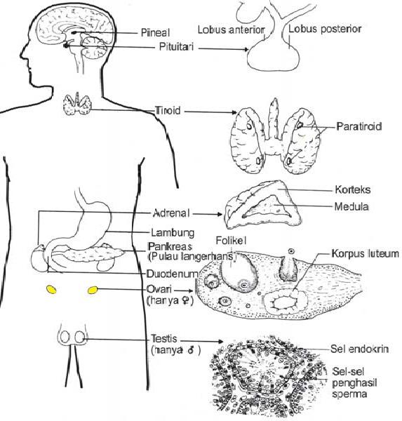 Soal Dan Jawaban Sistem Hormon Manusia Pilgan Essai Muttaqin Id