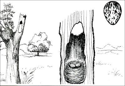 nido de Burlisto pico negro Myiarchus ferox