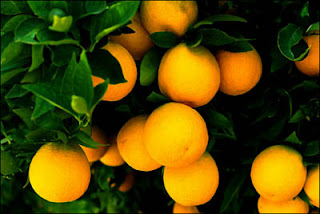 Oranges Fruits