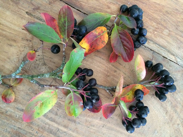 Plucked aronia berries