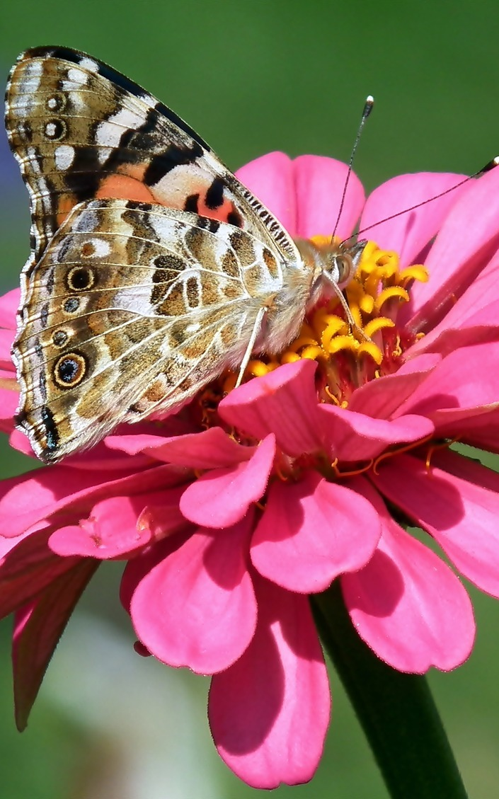 A butterfly on a zania flower.