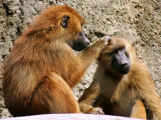 hewan terpintar dan tercerdas di dunia - babun