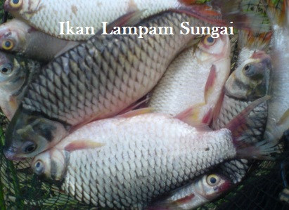 Sitnoolo Blogspot Com Tips Tanaman Ikan Lampam Sungai Sitnoolo Blogspot Com Sitnoolo Blogspot Com Sitnoolo Blogspot Com