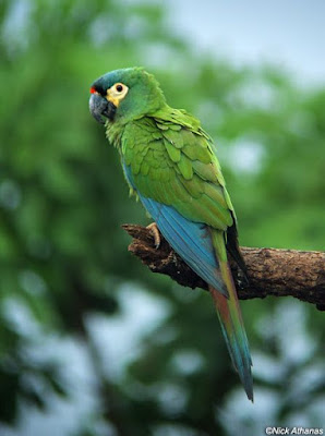 Illiger's Macaw Mini