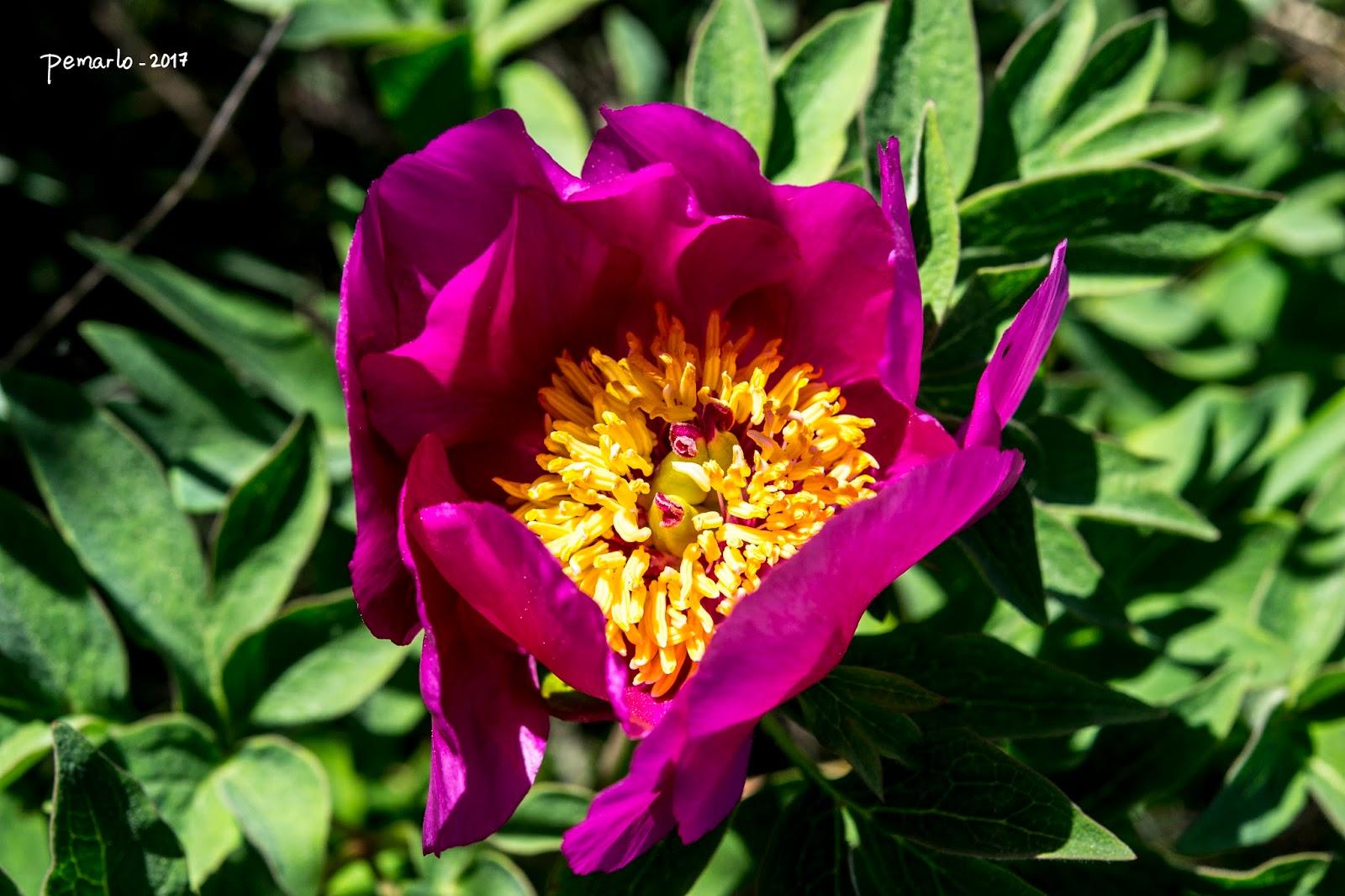 Plantas de murcia paeonia officinalis peon a en la for Paeonia officinalis