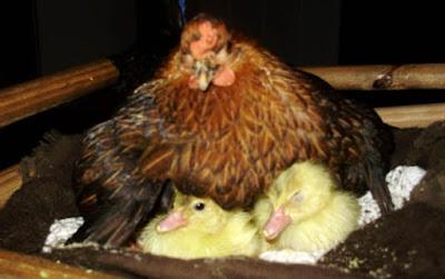 galinha - A galinha choca (e as motos com isso !?!...)