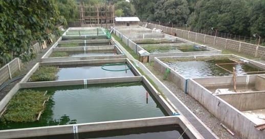 Cara Praktis Membuat Kolam Ikan Nila Ikan Nila