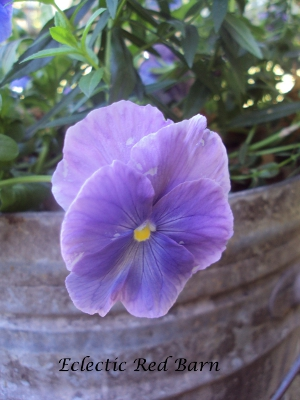 Light purple pansy falling over the edge of the bucket