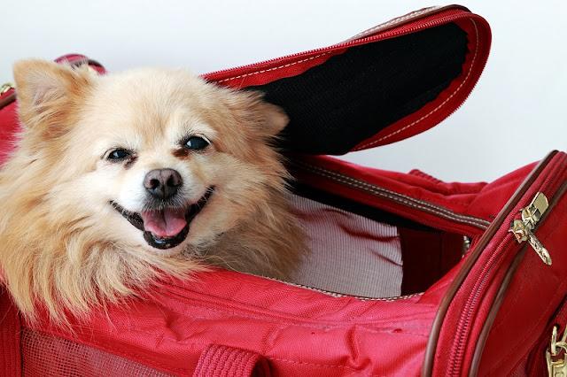 Formas de levar seu cachorro para Miami