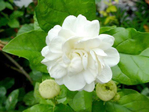 Jasmine Flower Wallpapers - Latest News