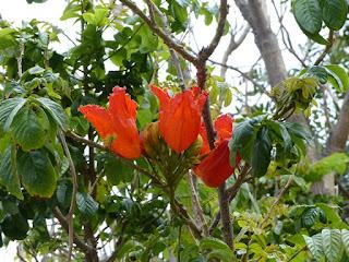 Tulipier du Gabon - Bâton du sorcier - Spathodea campanulata