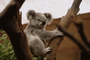 Koala, marsupial típico australiano