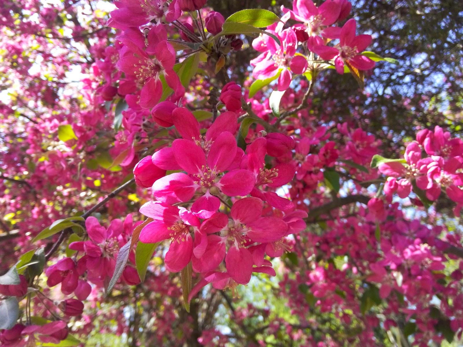 Iubesc natura arbusti ornamentali flori roz for Arbusti ornamentali