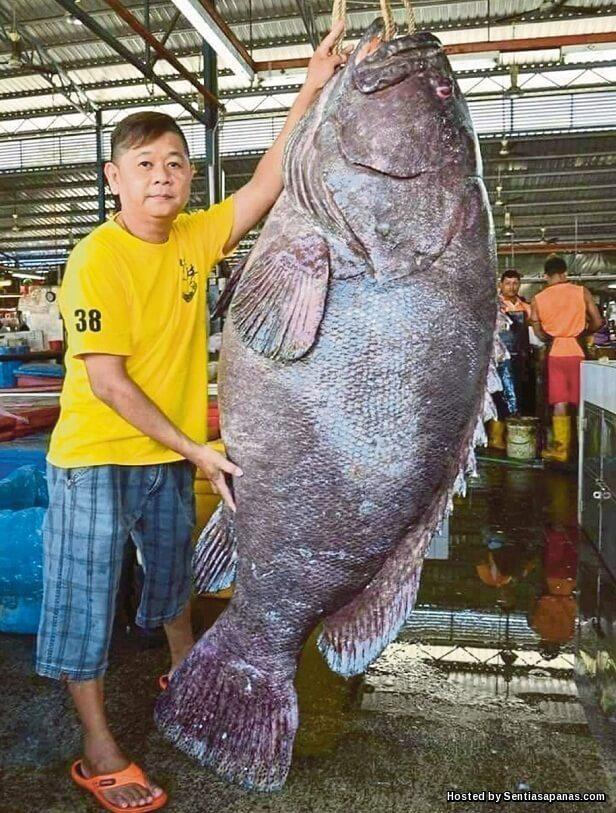 Ikan Kerapu Gergasi