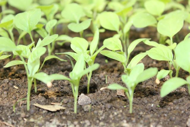 Daftar List Harga Bibit Sayuran 2018