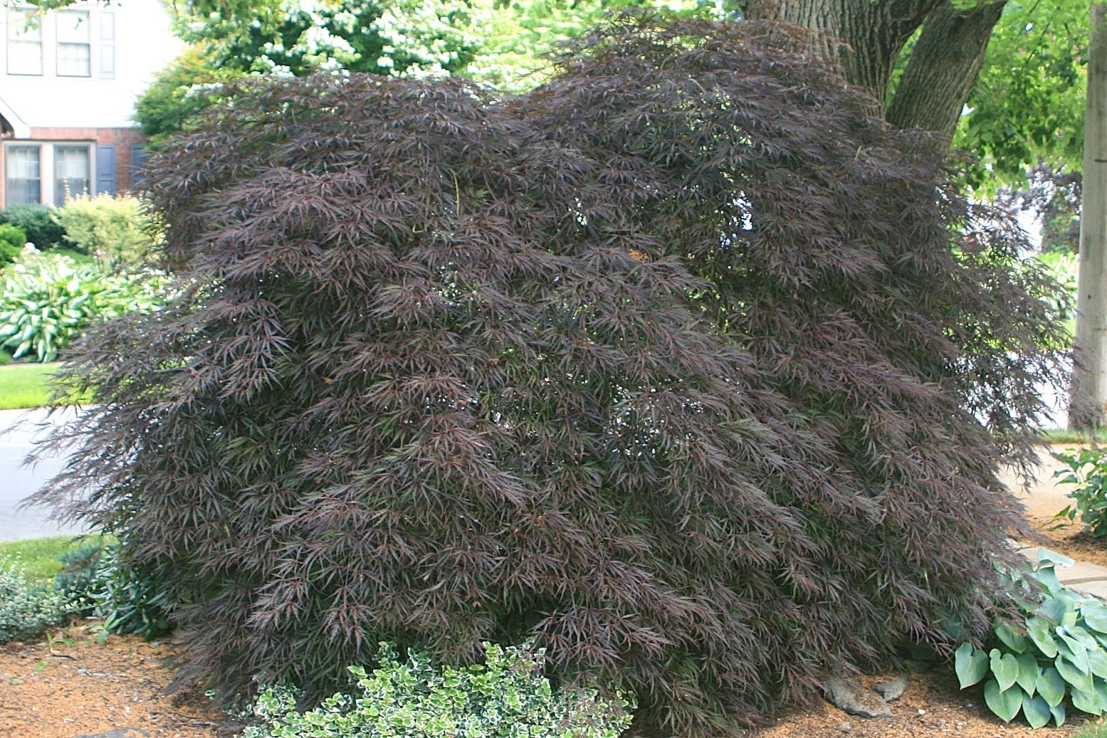 Weeping Anese Maples Need Pruning To Enhance Their Beauty