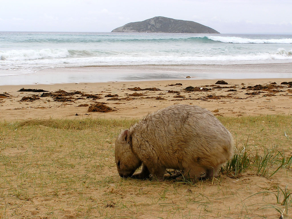 Wombat Wallpapers & Images - Pets Cute and Docile