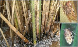 Bahan Aktif Pestisida yang ampuh untuk pengendalian hama Wereng Batang Coklat (WBC)