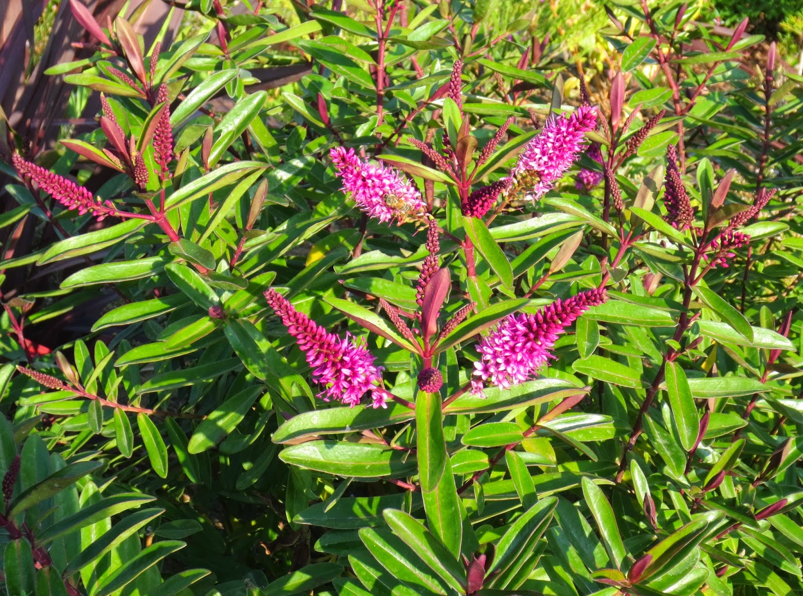 Late to the garden party my favorite plant this week for Hebe pianta