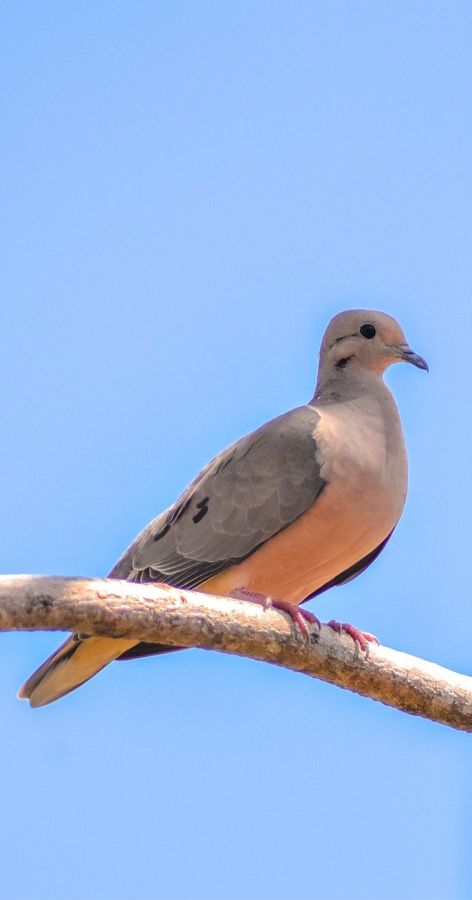 Picture of a dove.