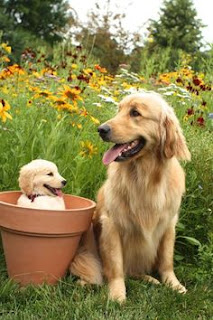 golden retriever puppy, golden retriever spring, puppy spring, cute puppies