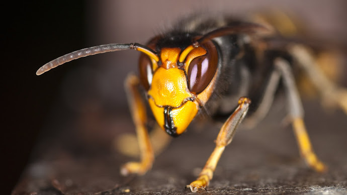 Wallpaper: Asian Predatory Wasp