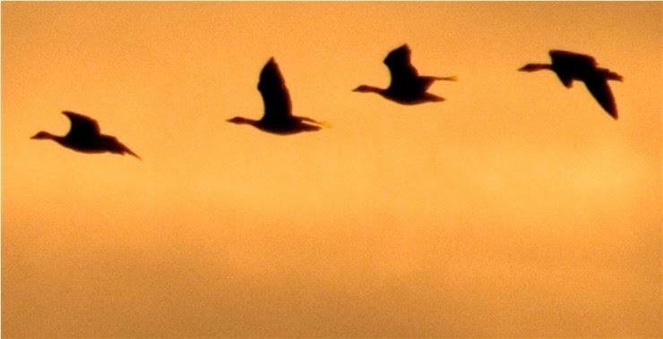 Enlace al post '¿Podría volver a volar un ganso con el ala rota?'