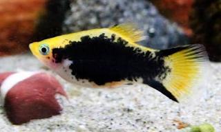 Cara memilihan indukan ikan platy yang berkualitas agar budidaya sukses