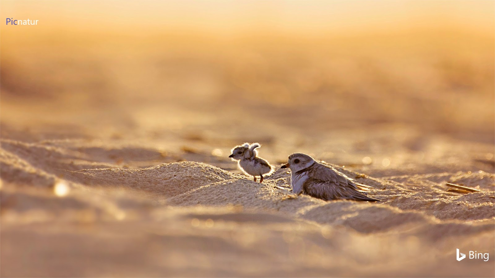 Piping plover and its chick on Jones Beach Island, New York © Vicki Jauron/Getty Images