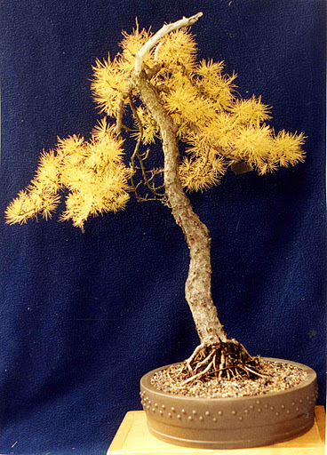 Akron Canton Bonsai Society Acbs S Project Tree Of The Year The American Larch Or Tamarack