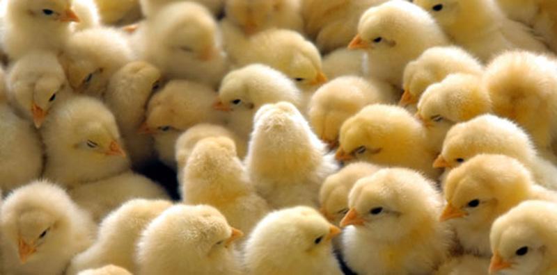 Peternak Ayam Ras Broiler Diminta Tingkatkan Usaha
