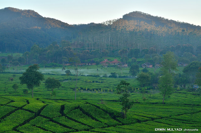 Indahnya pesona alam kebun teh rancabali bandung