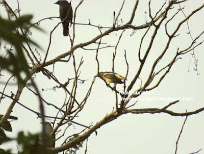 Daurian Starling in Bukit Brown