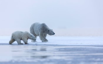 Wallpaper: Polar Bear Sow and Cub