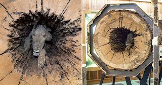 Σκύλος μουμιοποιήθηκε μέσα σε κορμό δέντρου που κόλλησε πριν από 20 χρόνια