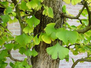 poza cu copacul si frunzele de ginko biloba
